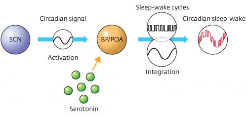 Neurotransmitter serotonin shown to link sleep–wake cycles with the body's natural 24-hour cycle