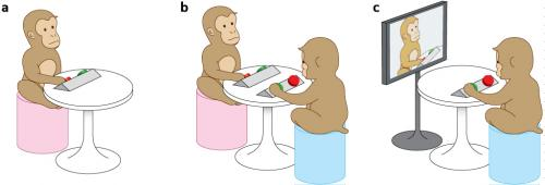 New experimental method allows spontaneous synchronization of arm motions by pairs of Japanese macaques