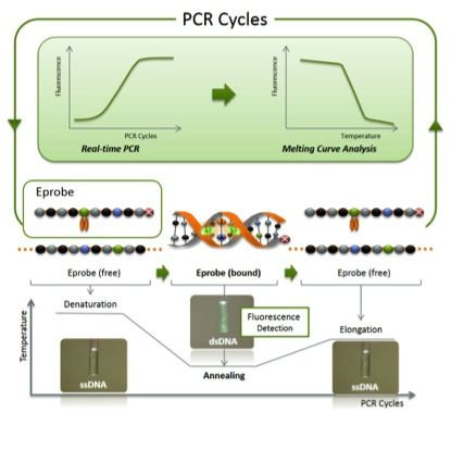 New highly efficient molecular probe for real-time PCR monitoring and genetic testing