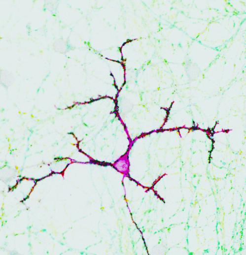 New regulator discovered for information transfer in the brain