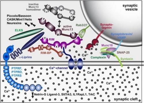 Nobel Prize winner reports new model for neurotransmitter release