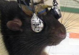 Pavlov's rats? Rodents trained to link rewards to visual cues