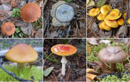 Poisonous mushrooms pose danger as more people forage for locally grown food, experts say