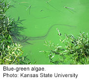 Pond scum holds dangers for people, pets