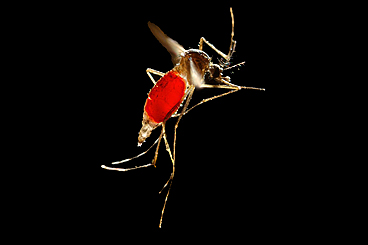 Research advances therapy to protect against dengue virus