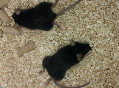Researchers generate a mutant mouse model useful in the treatment of neuromuscular diseases