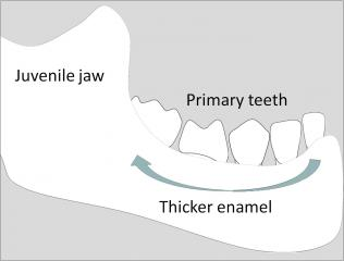 Revealed: how enamel protects children's teeth