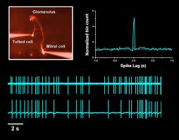 Signal and noise: Spike correlations in the olfactory system