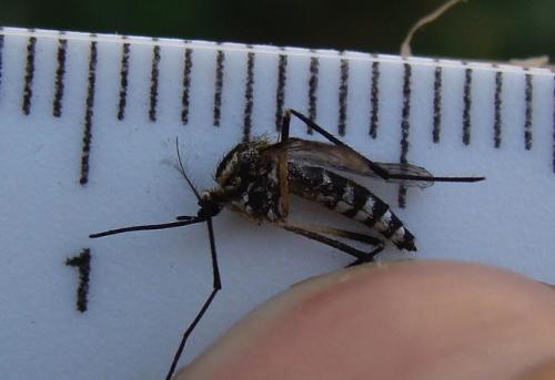 The chikungunya virus and its risk to Australia