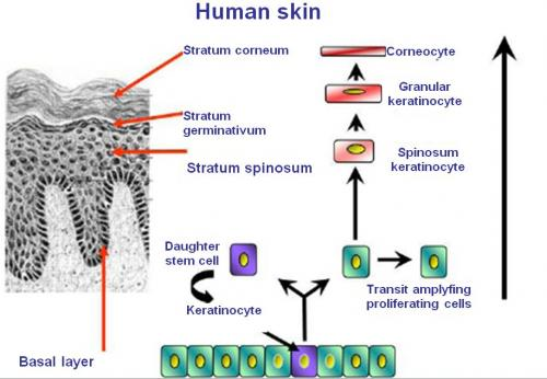 The skin aging regulator