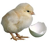 They're cute, but chicks carry salmonella dangers