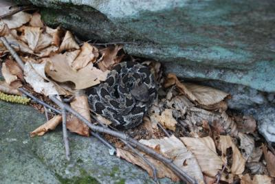 Timber rattlesnakes indirectly benefit human health