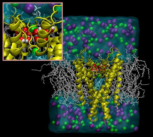 Water molecules control inactivation and recovery of potassium channels