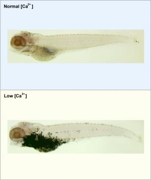 Zebrafish help decode link between calcium deficiency and colon cancer