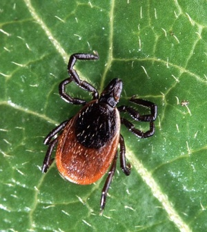 Strain-specific Lyme disease immunity lasts for years, Penn research finds