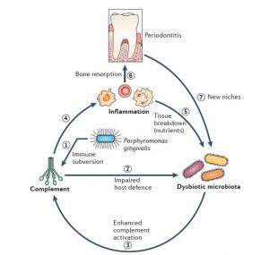 Team identifies promising new target for gum disease treatment