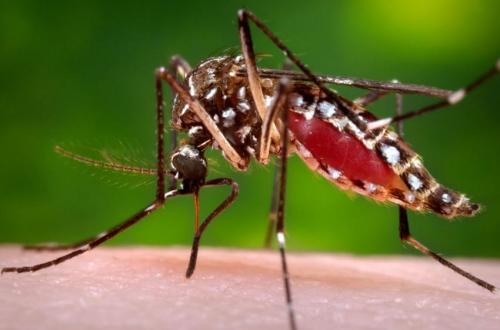 Experimental Chikungunya Vaccine Induces Robust Antibody Response