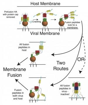 Researchers uncover clues to flu's mechanisms