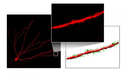 A protein couple controls flow of information into the brain's memory center