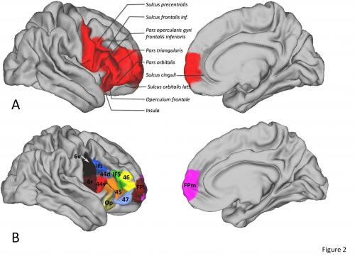 Brain regions thought to be uniquely human share many similarities with monkeys