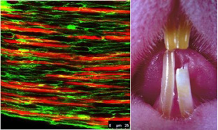 Bundles of nerves and arteries provide wealth of new stem cell information