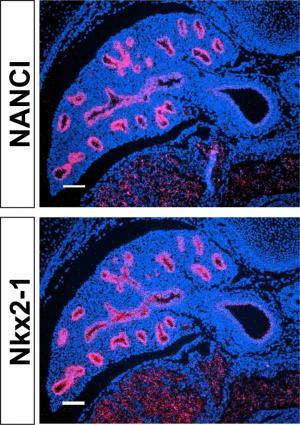 Genomic 'dark matter' of embryonic lungs controls proper development of airways