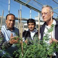 Lentils provide breakthrough in disease prevention