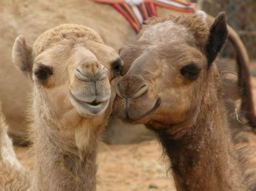MERS coronavirus can be transmitted from camel to man
