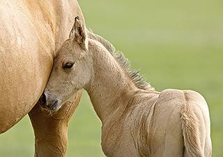 New pregnancy hormone identified in horses