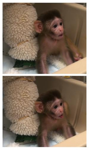 Oxytocin promotes social behavior in infant rhesus monkeys