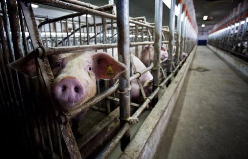 Piglets are seen at a farm on April 6, 2009 in Dabkowice, central Poland