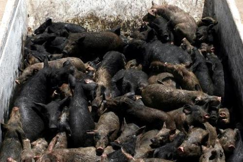 Pigs are piled up on in the back of a truck before getting culled and buried on the outskirts of Cairo, Egypt on May 14, 2009