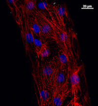 Stem cell advance yields mature heart muscle cells