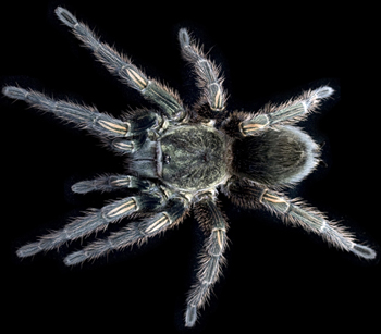 Within tarantula venom, new hope for safe and novel painkillers found