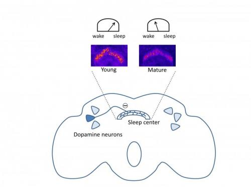 Connecting sleep deficits among young fruit flies to disruption in mating later in life