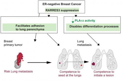 Researchers identify a new suppressor of breast metastasis to the lung
