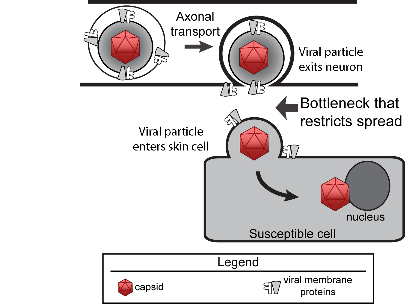 researchers identify unexpected bottleneck in the spread