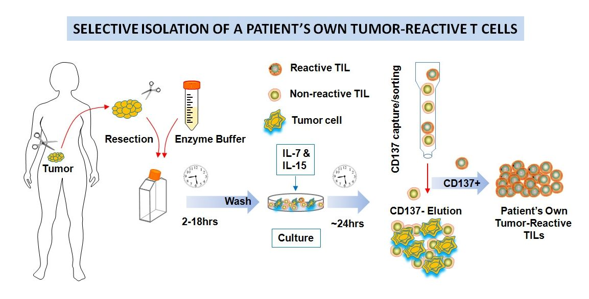 Finding Antitumor T Cells In A Patient S Own Cancer