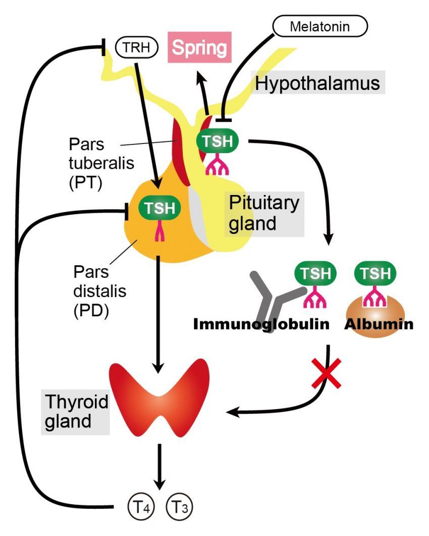 Mechanism of melatonin stimulation of growth